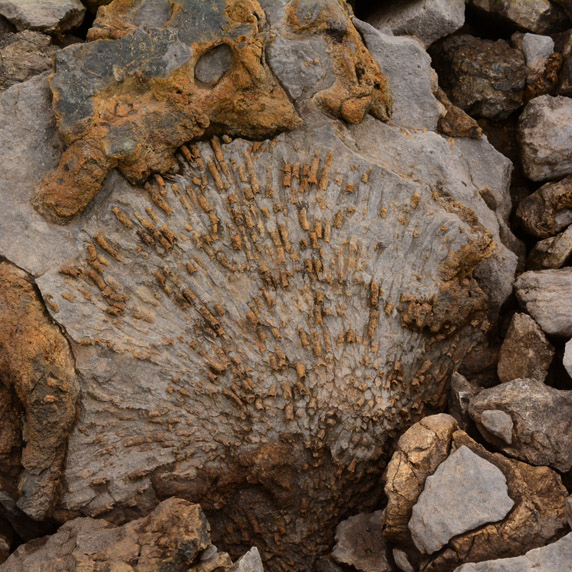 Fossilized corals in the Brooks Range mountains