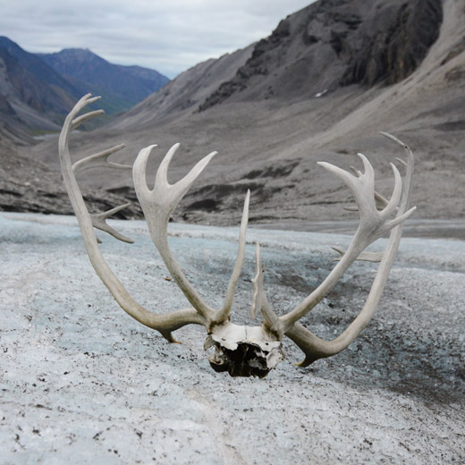 Caribou antlers sitting on a glacier in the Brooks Range mountains