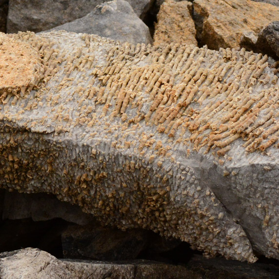 Coral fossils in Gates of the Arctic National Park and Preserve