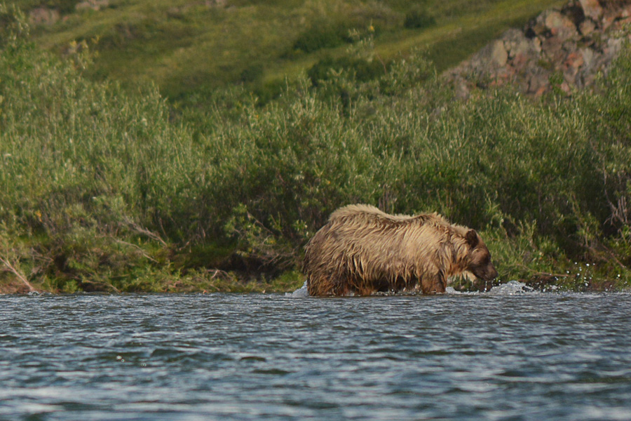 A grizzly bear with bright golden-brown, wet fur crossing the Anaktuvuk River, on the North Slope of Alaska